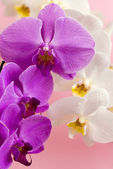 Purple and white orchid isolated on pink background — Stock Photo