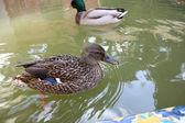 Couple of duck. — Stock Photo
