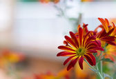 Chrysanthemum. — Stock Photo