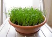 Green grass in pot. — Stock Photo