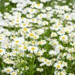 "Camomiles""s Field - Stock Photo"