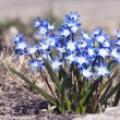 Early spring Blue flowers. Chionodoxa - Stock Photo