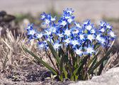 Early spring Blue flowers. Chionodoxa — Stock Photo