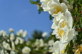 Bush of a wild rose under the blue sky — Stock Photo