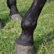 Hoofs of a horse. — Stock Photo