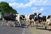 Herd of cows. — Zdjęcie stockowe