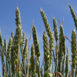 Royalty-Free Stock Photo: Wheat ears.