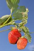 Ripe strawberry. — Stock Photo