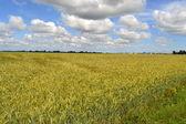 Buğday olgunlaşma alanında. — Stok fotoğraf