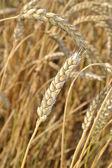 Ripe grain ears. — Stock Photo