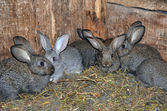 Small gray rabbits. — Stock Photo