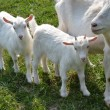 Goat with kids. — Stock Photo