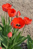 Scarlet tulips — Stock Photo
