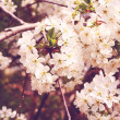 Cherry flowers on tree. - Stock Photo