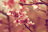 Cherry flowers on tree. — Stock Photo