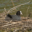 Stock Photo: Bald coot 2