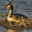 Stock Photo: Great crested grebe 2