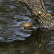 Stock Photo: Common Toad 4