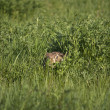 Hidden rabbit - Stock Photo