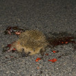 Dead hedgehog - Foto de Stock