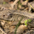 Stock Photo: Common lizard 1