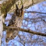 Long-eared owl 4 — Stock Photo