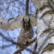 Long-eared owl 2 — Stock Photo