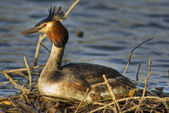 Great crested grebe 3 — Stock Photo