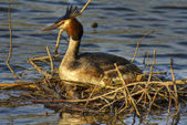 Great crested grebe 2 — Stock Photo