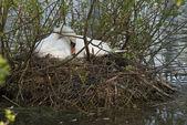 Swan breeding — Stock Photo