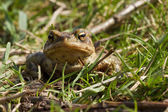 Common Toad 3 — Stock Photo