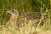 Young partridge 2 — Foto Stock