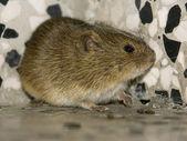 Myszy 2 — Zdjęcie stockowe