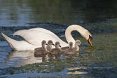 Swan family 2 — Stock Photo