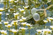 Pond frog 2 — Stock Photo