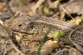Common lizard 1 — Stock Photo