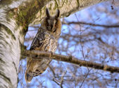 Long-eared owl 4 — Stock Photo