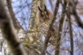 Long-eared owl 1 — Stock Photo