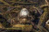 Grass frog — Stock fotografie