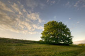 Oak on a field 1 — Stock Photo