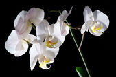 Blooming White Orchids — Stock Photo