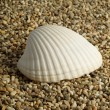 Shell on a sea pebble — Stock Photo