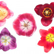 Stock Photo: Different color tulips