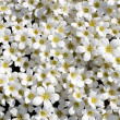 White flowers background — Stock Photo