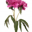 Magenta peony isolated — Stockfoto