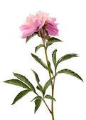 Peach pink peony — Stock Photo