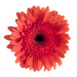 Stock Photo: Beautiful red gerbera