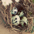 Vintage quail nest with eggs - Stock Photo