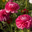 Pink poppies — Stock Photo