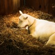 Sleeping white she goat - Stock Photo